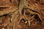 Root System, Great Smoky Mountains NP, Tennessee