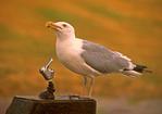 Herring Gull on Water Fountain, Larus argentatus
