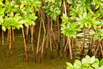 Red Mangrove Tree Prop Roots, Rhizophora mangle