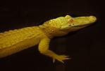 Albino Alligator, Alligator mississipiensis