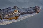 American Alligator, Alligator mississipiensis