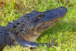 Alligator feeding on nutria, Alligator mississipiensis