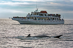 Whale Watch, Tourboat and Humpback Whale Tail, Megatera novaeangliae