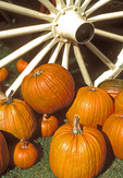 Pumpkins and Wagon Wheel, Autumn in New England