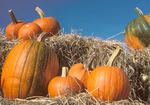 Pumpkins on Bed of Straw, Autumn in New England