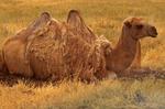 Bactrian Camel, Camelus bactrianus