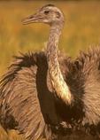 Greater Rhea, American Rhea, Rhea americana