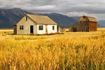 Golden Grasses at the Thomas Murphy Homestead, Mormon Row Historic District, Antelope Flats, Jackson Hole, Grand Teton National Park, Wyoming