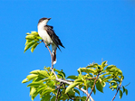 East African Crowned Crane, Balearica regulorum gibbericeps