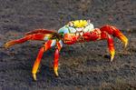 Sally Lightfoot Crab on Lava Rock, Grapsus grapsus