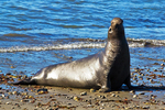 Male Northern Elephant Seal, Mirounga angustirostris