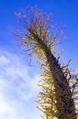 Boojum Tree, Fouquieriaceae columnaris, Idria columnaris