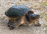 Hiker. Kaibab Trail, Grand Canyon National Park, Arizona