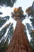 General Sherman Tree, Giant Sequoia, Sequoiadendron giganteum, Giant Forest, Sequoia National Park, California