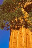 Resurrection Tree, Big Stump Trail, Sequoiadendron giganteum, Kings Canyon National Park, California