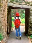 Hiker walking through Sequoia Tree, Sequoiadendron giganteum, Hazelwood Trail, Sequoia and Kings Canyon National Park, California