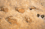 Reptile Fossil, Coconino Sandstone, Grand Canyon National Park, Arizona