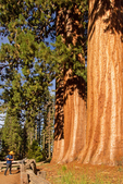 Hiker at the 3 Graces Group of Sequoia Trees, Sequoiadendron giganteum, Giant Forest, Sequoia National Park, California