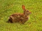 Eastern Cottontail Rabbit, Sylvilagus floridanus
