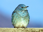Male Mountain Bluebird, Sialia currucoides