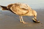 Immature Herring Gull Feeding, Larus argentatus smithsonianus, Larus smithsonianus