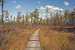 Boardwalk, American Larch or Tamarach Trees, Saco Heath Bog, Saco, Maine