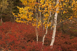 Birch Tree and Bushes, Autumn Foliage, Acadia National Park, Mount Desert Island, Maine