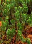 Running Clubmoss, Lycopodium clavatum, Club Moss
