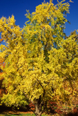 Ginkgo biloba, Maidenhair Tree