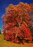 Sourwood Tree, Oxydendrum arboreum