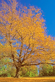 Sweet Birch, Black Birch, Cherry Birch, Mahogany Birch, Spice Birch, Betula lenta