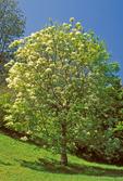 Flowering Ash, Manna Ash, South European Flowering Ash, Fraxinus ornus