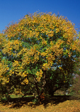 Goldenrain Tree, Pride of India, Varnish Tree, China Tree, Koelreuteria paniculata