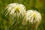 White Pasqueflower, Western Anemone, Anemone occidentalis, Pulsatilla occidentalis