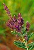 Leadplant, Amorpha canescens