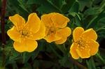 Slender Cinquefoil, Graceful Cinquefoil, Potentilla gracilis