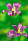 Elegant Brodiaea, Harvest Brodiaea, Elegant Cluster-lily, Brodiaea elegans