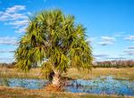 Cabbage Palm, Sabal Palm, Sabal palmetto, Loxahatchee National Wildlife Refuge, Boynton Beach, Florida