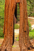Clothespin Tree, Sequoiadendron giganteum, Mariposa Grove of Giant Sequoias, Yosemite National Park, California