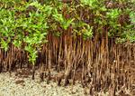 Black Mangrove Trees and Pneumatophores, Avicennia germinans