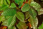 Poison Ivy, Toxicodendron radicans, Rhus toxicodendron, Rhus radicans