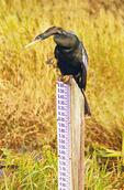 Anhinga on Water Level Sign, Anhinga anhinga, Everglades National Park, Florida