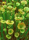 Sarracenia flava, Yellow Pitcher Plant, Yellow Pitcherplant