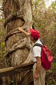 Person Observing Strangler Fig, Ficus aurea