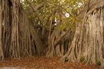 Strangler Fig, Ficus aurea