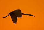 Great Egret Flying at Sunset, Great White Egret, Common Egret, Ardea alba, Egretta alba, Casmerodius albus