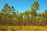 Florida Slash Pine, Yellow Slash Pine, Swamp Pine, Pinus elliottii var. densa