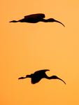 White Ibis flying Silhouetted at Sunset, Eudocimus albus