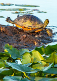 Florida Red-Bellied Turtle, Florida Red-Bellied Cooter, Pseudemys nelsoni