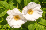 Virginia Rose, Common Wild Rose, Prairie Rose, Rosa virginiana